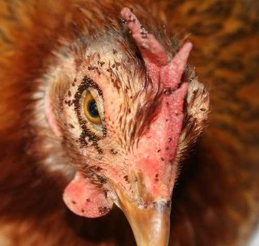 Как определить есть ли у курицы блохи