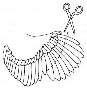 как обрезать крылья у цесарок