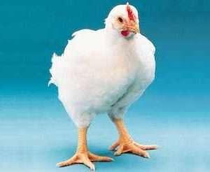 Что делать если домашние цыплята бройлеры не растут?