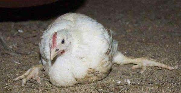Почему цыплята бройлера падают на ноги : причина и чем лечить?