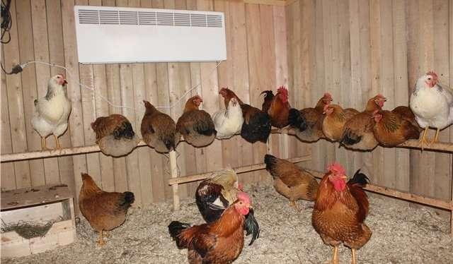 Выращивание кур в домашних условиях породы кур 70