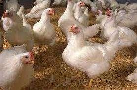 Кормление бройлерных цыплят, как вырастить в домашних условиях. Видео