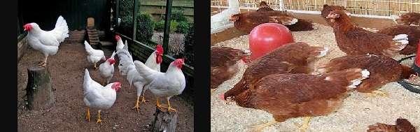 Нередко яйца клюет не одна птица, а несколько