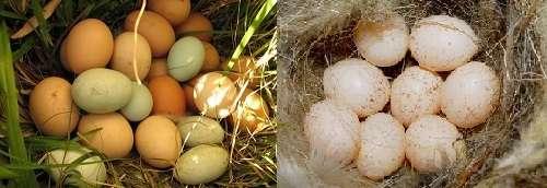 Эти яйца принимают в разном виде, в том числе и в сыром