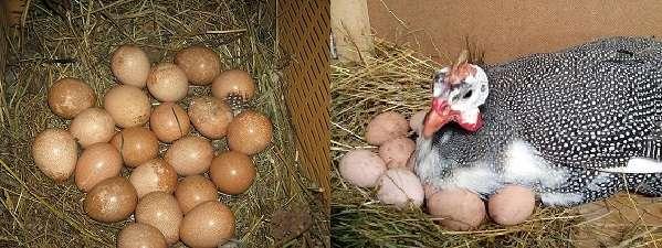 Яйца царской птицы являются очень маленькими