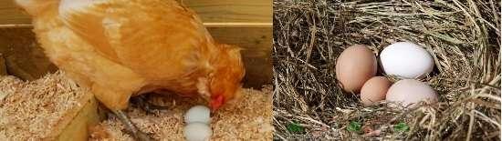 Куры могут начать клевать яйца, если случайно раздавливают и разбивают их в гнезде.