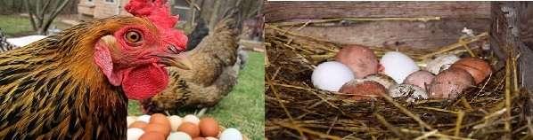 Если куры клюют яйца