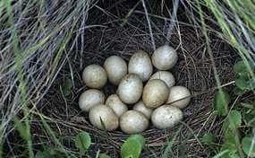 Яйца цесарки, полезные свойства