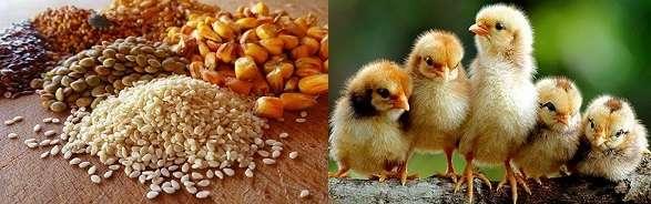 Всего через 1,5-2 месяца употребления комбикорма в качестве основной пищи, птица готова к забою.