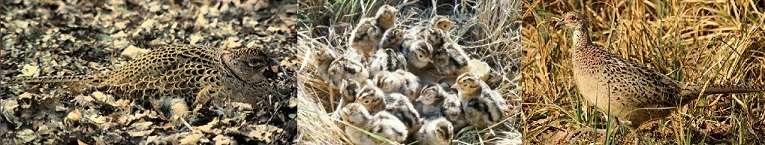 Гнездо строится в пределах занятого участка