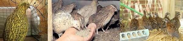 Птица очень экономна в отношении расхода корма