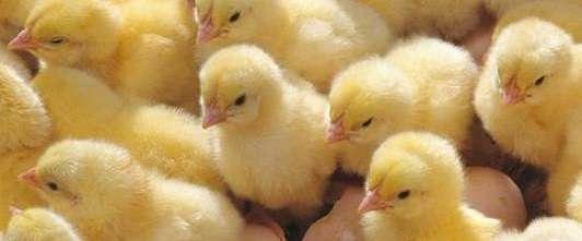цыплята бройлеры выращивание и уход и кормление