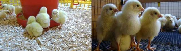 В кормушки цыплятам ставят речной песок и гравий.