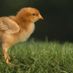 Болезни цыплят-бройлеров и методы лечения