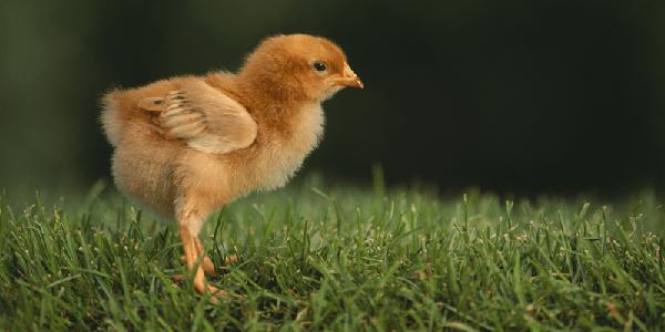 болезни цыплят бройлеров симптомы и лечение