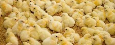 Особенности выращивания цыплят-бройлеров