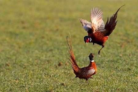 Разведение фазанов в домашних условиях для начинающих