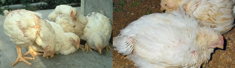 Признаки старой курицы