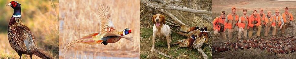 фазан охотничий является гибридом