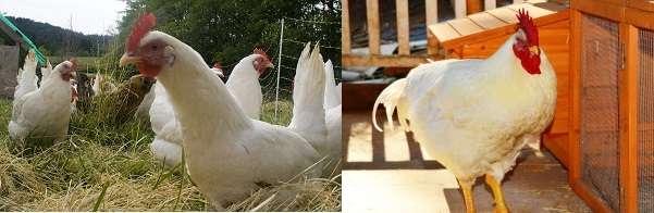 Особую роль в период сбора яиц для получения потомства играет качественное питание птицы