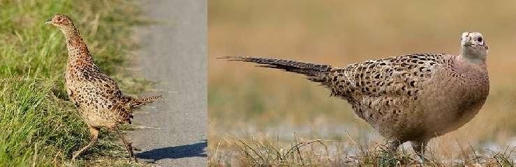 в рационе фазана должно преобладать