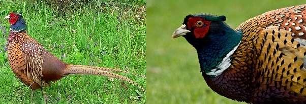 у фазана много врагов