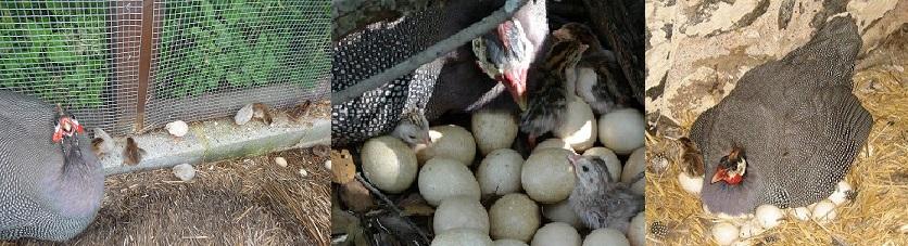 Цесарские яйца имеют грушевидную форму и коричневатый цвет скорлупы