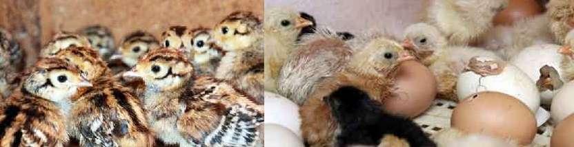 масса одного птенца составляет всего 5-8 грамм