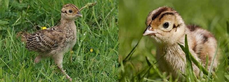 Молодняк в сопровождении самки ходит на выгул к полянам и питается насекомыми