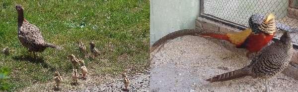 Птенцов фазана в первые дни жизни кормят варенным и измельченным яйцом