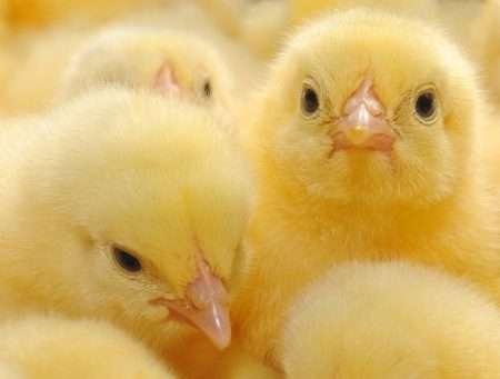 цыплята бройлеры выращивание в домашних условиях видео