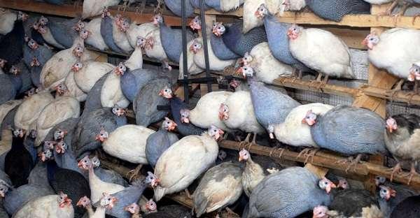 Заводчику следует помнить и том, что даже в зимний период времени птицы очень любят гулять.