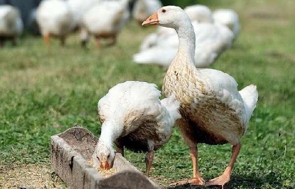 Если кормить птицу качественным и сбалансированным комбикормом, то их организм будет крепким