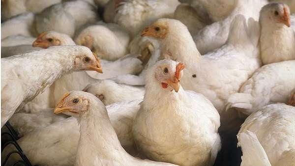 После вылупления птенцов их каждые 2 часа кормят