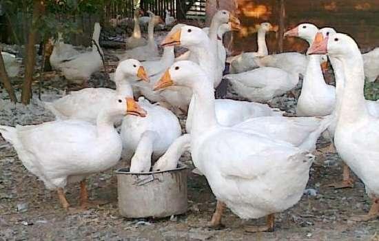 В рационе гусей обязательно должны быть белковые продукты