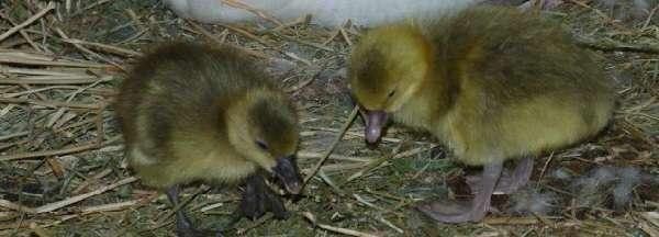 Чтобы гуси успешно развивались и росли, нужно обустроить для них подходящее помещение