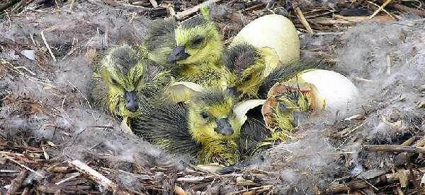 Рацион гусят немного отличается от рациона взрослой птицы.