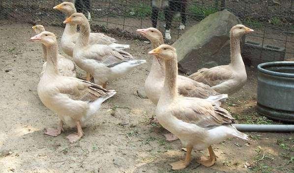 Самое идеальное решение – это содержать гусей возле водоема