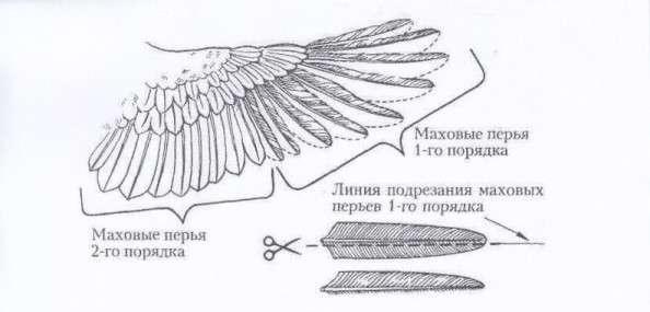 Многие интересуются тем, как подрезать курам крылья