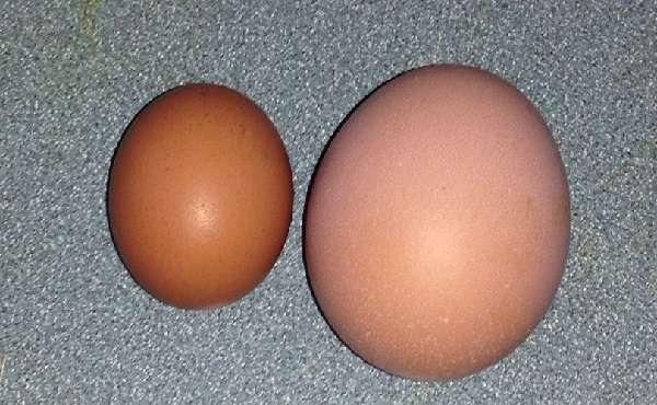 Куры хайсекс несут мелкие яйца