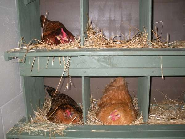 Самодельные гнезда для кур своими руками 97