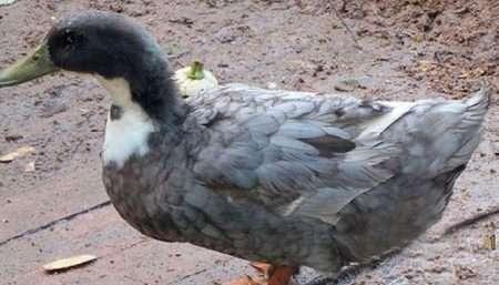 фаворит утки фото описание породы