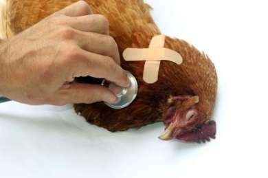 болезни кур и их лечение симптомы фото