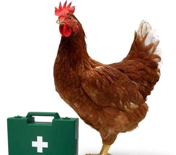 Чтобы начинающему заводчику сориентироваться в болезнях куриц, нужно понять, как развивается