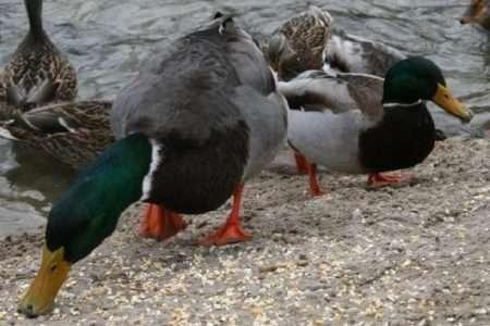 комбикорм для водоплавающей птицы