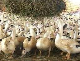 включая в рацион уток и гусей водоросли, улучшается вкус мяса птицы.