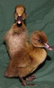 Как выглядят утки хаки-кемпбелл?