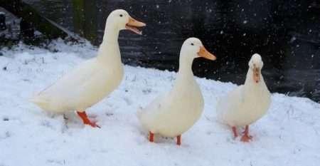 отбор уток на зиму на племя