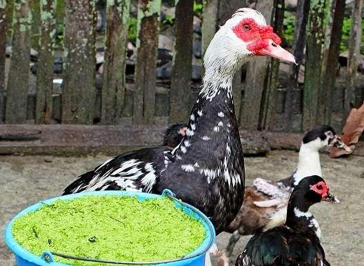 Влажные мешанки, которые подготовит заводчик и оставит уткам, они охотно поедают ночью, что, несомненно, дает отличный прирост.