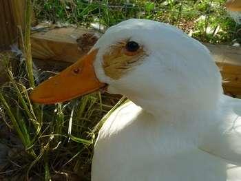 Кутикулит обычно появляется у птенцов в возрасте до одного месяц